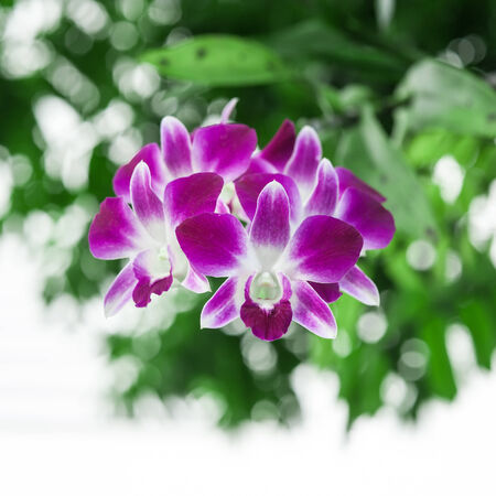magnoliophyta: Purple Orchid with green blurry