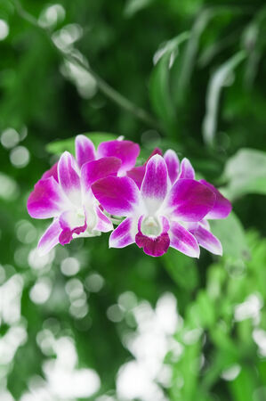 Purple Orchid with green blurry  photo