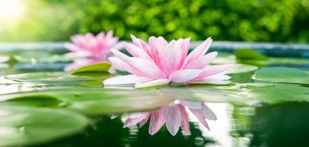 Hermosa Lotus Rosa, planta de agua con la reflexión en un estanque Foto de archivo
