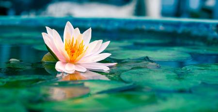 lirio acuatico: Un hermoso nenúfar rosa o flor de loto en el estanque Foto de archivo