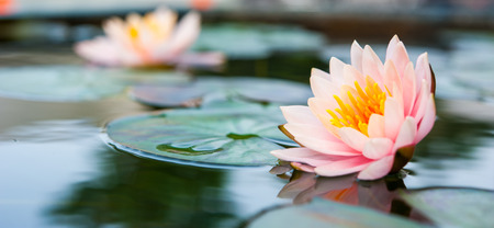 Beautiful Pink Lotus, water plant in a pond