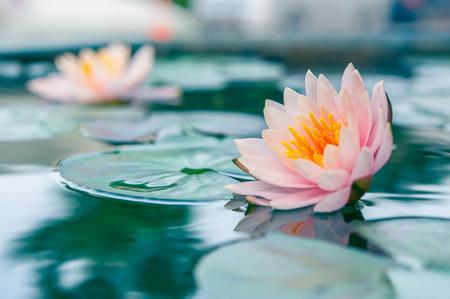아름다운 연꽃, 연못에 수련