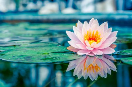 Hermosa Lotus Rosa, planta de agua con la reflexión en un estanque