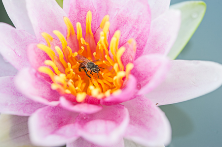 water lilly: A bee in lotus flower, water lilly in a pond