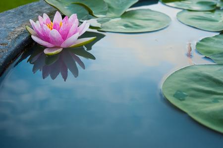 lirio acuatico: Hermosa loto rosa, planta de agua con la reflexión en un estanque Foto de archivo