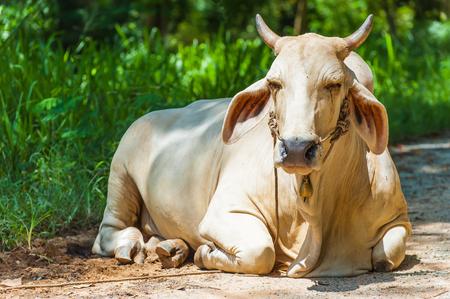 lia: Cow lying on ground