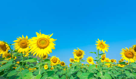 Sun Flower field photo