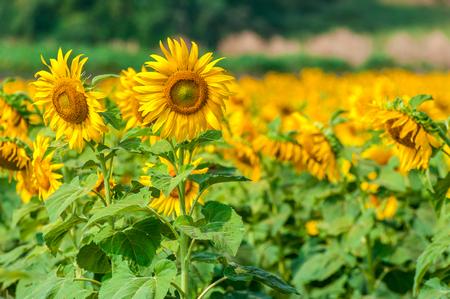 Sun Flower Field Banque d'images