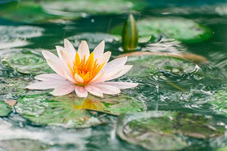 lirio acuatico: Hermosa Lotus, lirio de agua en el estanque
