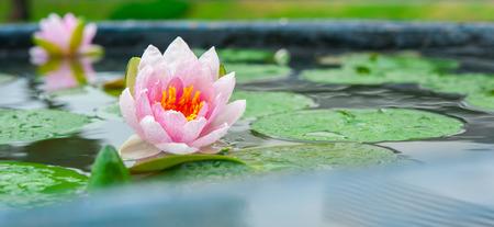 美しい蓮、睡蓮の池 写真素材