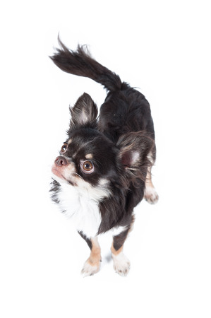 long haired: Shihuahua isolated on white background