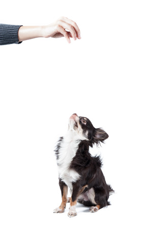 entrap: Chihuahua isolated on white  Stock Photo