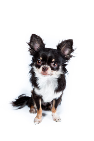 long haired: Chihuahua isolated on white  Stock Photo