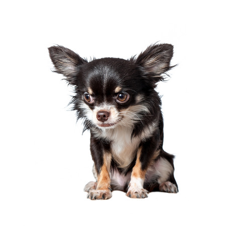 longhaired: Chihuahua isolated on white  Stock Photo