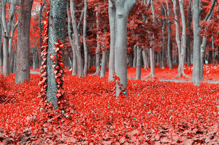 saturate: Beautiful scene of red leaf forest with ivy Stock Photo