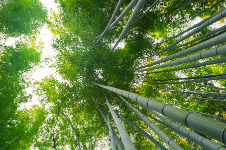 Bamboo grove, bamboo forest at Arashiyama, Kyoto, Japan photo