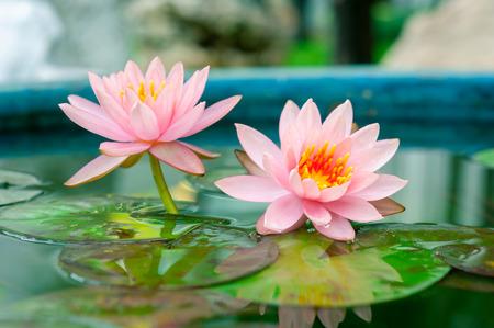 lirio de agua: Pink Lotus o lirio de agua en el estanque