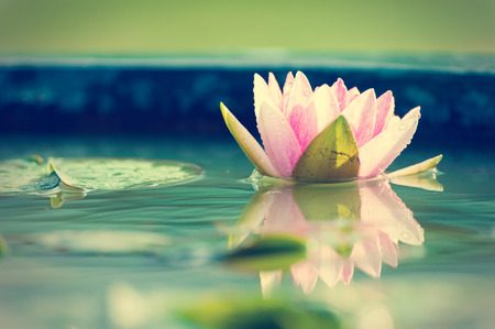 A beautiful pink waterlily or lotus flower in pond vintage photo filter, retro style photo