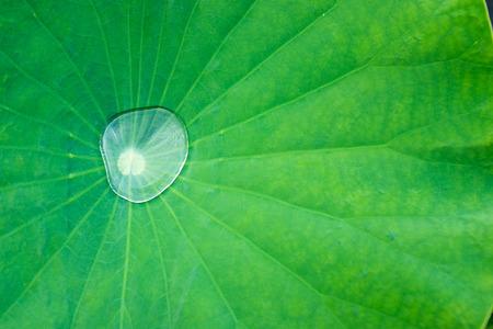 lotus leaf: Water drop on lotus leaf