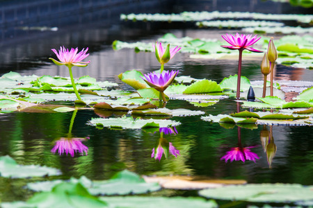 Beautiful pink  lotus water lily in pond photo