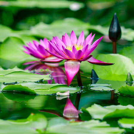 Beautiful pink  lotus or water lily in pond photo