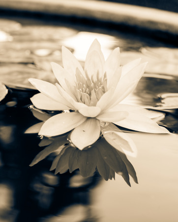 duo tone: Lotus or water lily in duo tone