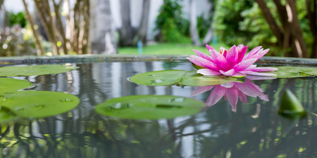 Pink lotus or water lily in pond