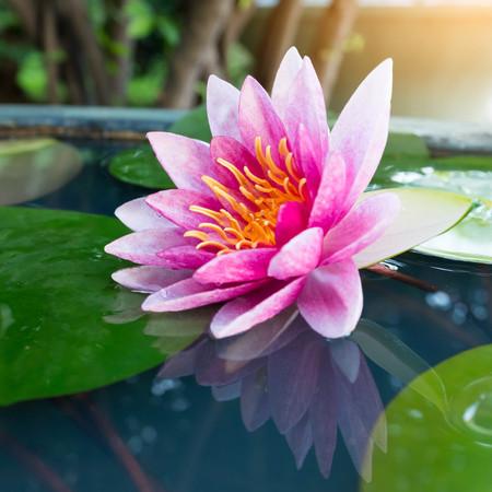 waterlily: pink lotus or waterlily in pond