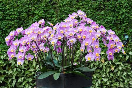 beauteous: Purple pink orchid in pot