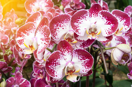 beauteous: Purple pink orchid with sun flare