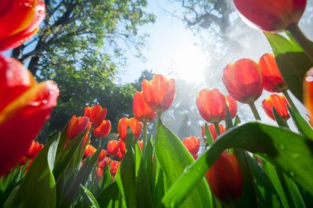 Jardin de tulipes rouges vue oeil ant perspective Banque d'images - 51617596