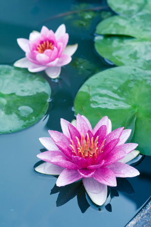 lilies: Beautiful Pink Lotus, water lily Stock Photo