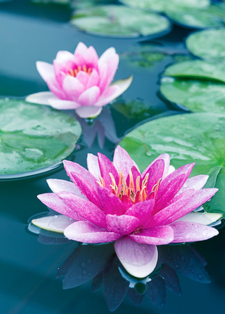 Close up beautiful Pink Lotus, water lily Banco de Imagens