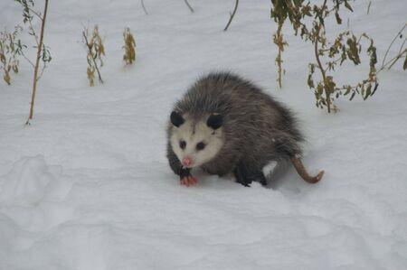 possum: possum Stock Photo