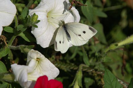 Cabbage White Butterfly Banco de Imagens