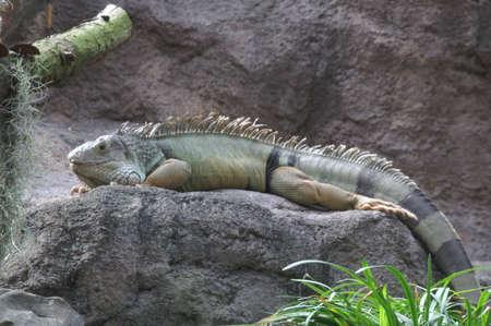 Sleeping Reptile Stock Photo