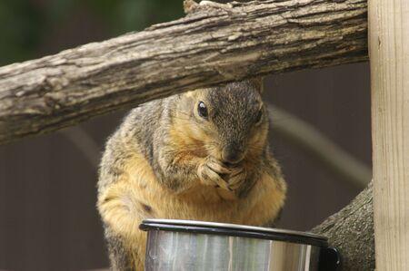 Squirrel Thief Stock Photo