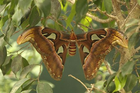 Giant Colorful Moth