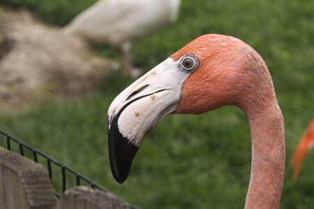 Pink Flamingo Portrait Stock Photo