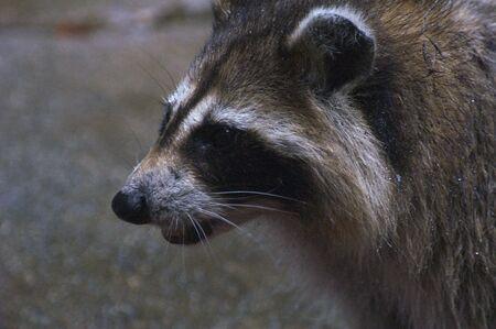 Raccoon at Dusk
