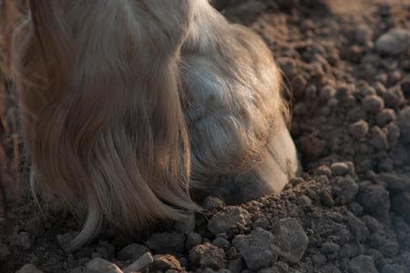 Closeup of rodeo horse hoof