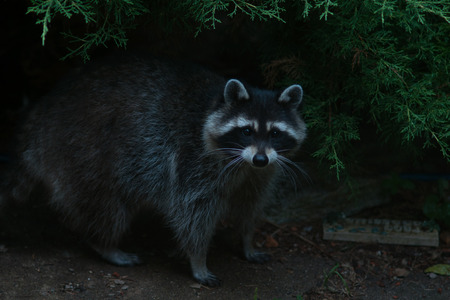 critter: Wary raccoon waiting to see if it is safe
