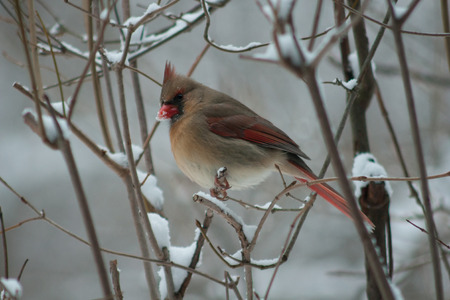 Female cardinal in winter