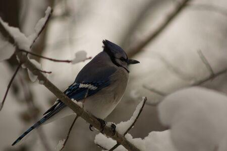 Blue Jay in winter Stock Photo