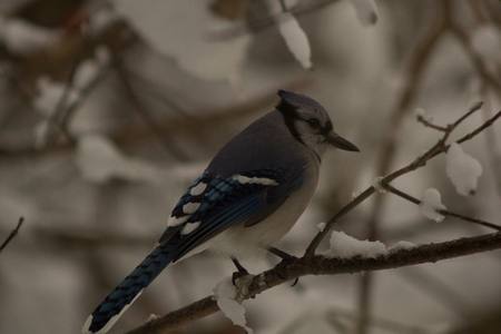 bluejay: In winter Stock Photo