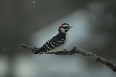 downy woodpecker: Downy woodpecker