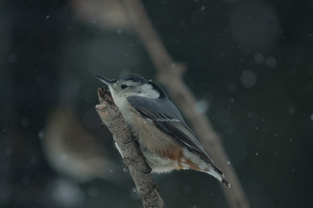 White-breasted Nuthatch in winter
