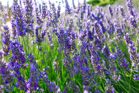 Lavender, precious ornamental plants, wild with lilac flowers, bluish, blue. Aroma and delicious perfumes.