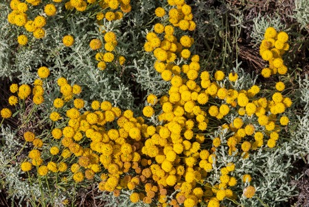 Santolina chamaecyparissus, traditional wild medicinal plant with yellow flowers Foto de archivo - 107245645