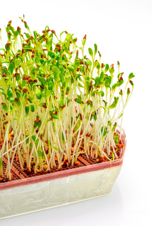 Germinated fresh and raw alfalfa sprouts. Close-up isolated on white background.